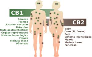 O sistema endocanabinóide com os receptores CB1 e CB2 no corpo humano